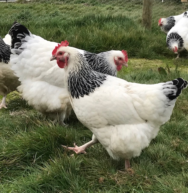 Poulty Breeds, Chickens for Sale Melbourne